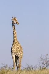 South African giraffe or Cape giraffe (Giraffa giraffa giraffa). Botswana