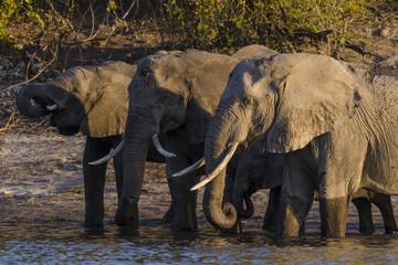 African bush elephant or African elephant (Loxodonta africana) drinking. Botswana