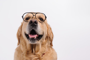Funny golden labrador retriever dog looking in black glasses