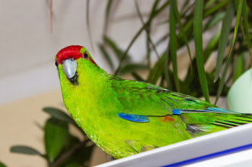 Beautiful Green Parrot, Kakariki,Cyanoramphus with red head, medium size