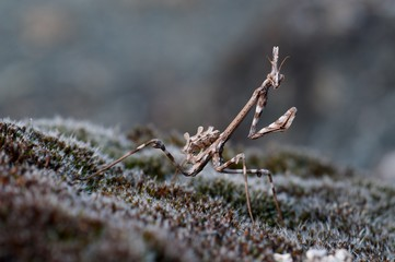 Mantis Empusa pennata on the moss. Aveto valley, Genoa, Italy, Europe