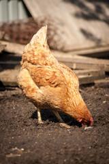hen in the village.