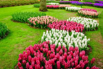 beautiful  hyacinths. Beautiful flowers background