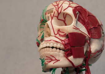 Anatomy human body model. Part of human body model with organ system.