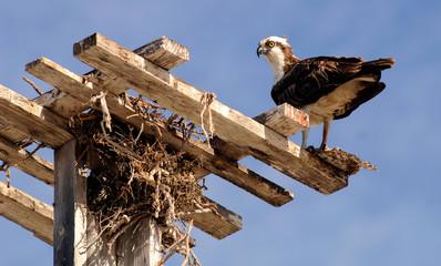 Osprey carries a fresh meal in Baj Mexico