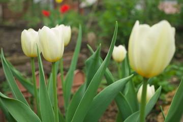 Beautiful whitel tulips in garden bed