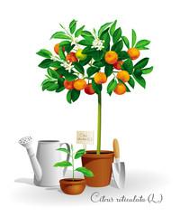 Mandarin tree in the pot
