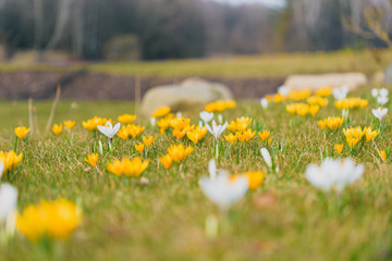 Beautiful yellow and white crocus flowers in the meadow. Blooming spring cover with forrest in the background.