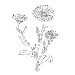 Medicinal herbs and flowers  Calendula