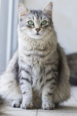 cat sitting in the garden, silver siberian