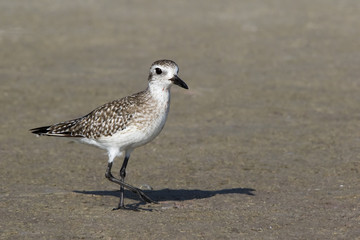 A Sandpiper ( Scolopacidae) walks across a sandbar at Fort Desoto Park near St. Pete Beach, Florida.