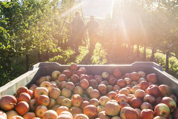 Europe, Italy, Trentino South Tyrol, Non Valley. Chest of fujin apples and on background a group of farmers picking apples