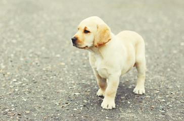 Cute dog puppy Labrador Retriever on the street pavement