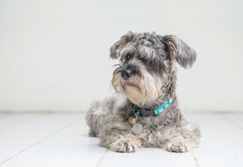 Closeup schnauzer dog looking on blurred tile floor and white cement wall in front of house view background with copy space