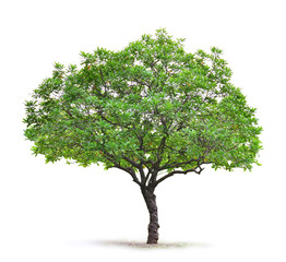 deciduous tree on a white background
