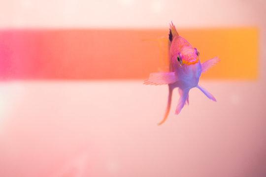 Close up shot of pink anthias