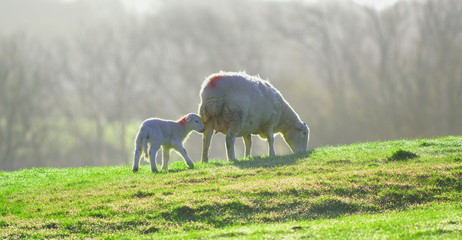 Wall Mural - Sheep and lamb grazing on a farmland in East Devon, England