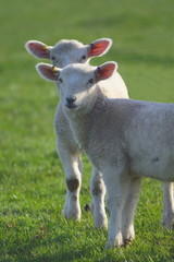 Wall Mural - Young lamb on a farmland in East Devon