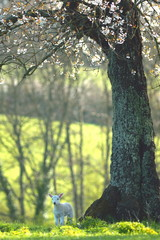 Wall Mural - Young lamb under blossoming tree in spring