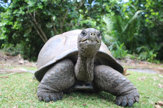 Aldabra Giant Tortoise (Dipsochelys gigantea), Curieuse Island / This reptile is the last surviving giant tortoise species, which once inhabited some islands of the Indian Ocean.