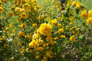 Buisson de fleurs au printemps sous le soleil
