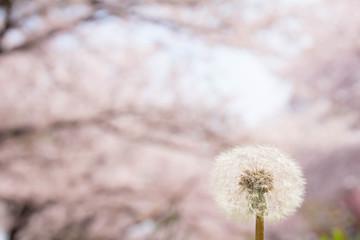 満開の桜の下のたんぽぽ