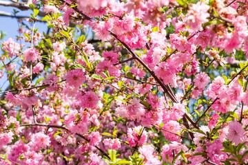 flower of the Japanese cherry sakura blossoms