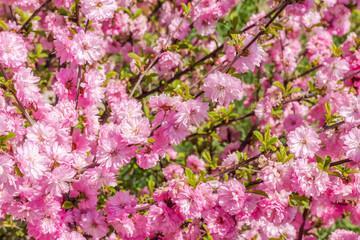 Branch of the Japanese cherry sakura blossoms