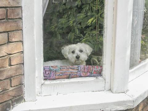 White poodle staring out of window