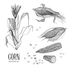 Set of corn plant. Contour black and white hand drawn collection maize. Vector illustration.