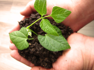 soil and seedling in the hands of the people