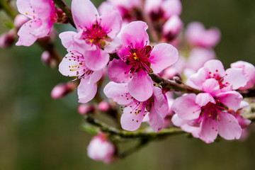 Apricot flowers close-up