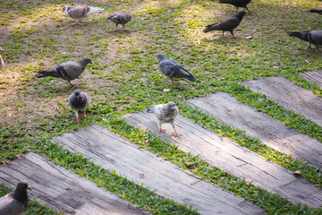 Pigeons walk in the park.