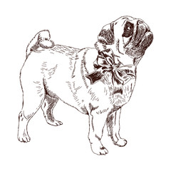 Adult dog breed pug. On the neck tied in a big bow. Pug is looking up. Hand drawn sketch. Vector illustration isolated on white background. Realistic.
