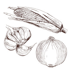 Set of vegetable crops. Onion, garlic, corn. Hand drawn sketch. Vector illustration isolated on white background in the Botanical style. Realistic.