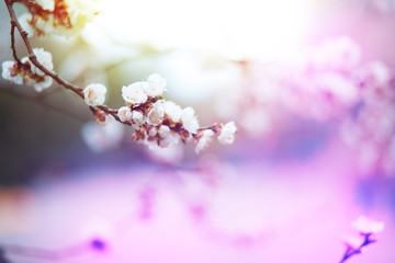 Beautiful pink Cherry Blossom in full bloom white