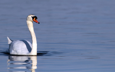 Mute Swan swimming on river Danube, Belgrade Serbia, municipalities Zemun.