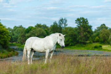 A beautiful white horse feeding in a green pasture. Summer, concept of landscape country side