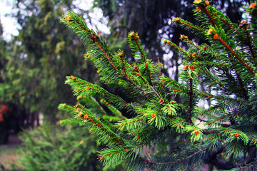 Beautiful pine tree branches in the forest. Nature and trees. Conifer tree.