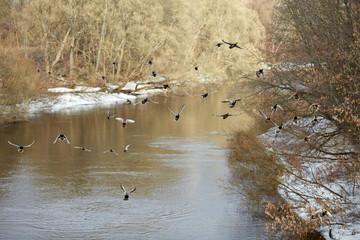 Дикие утки на реке