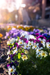 Cheerful pansies in the sun, spring