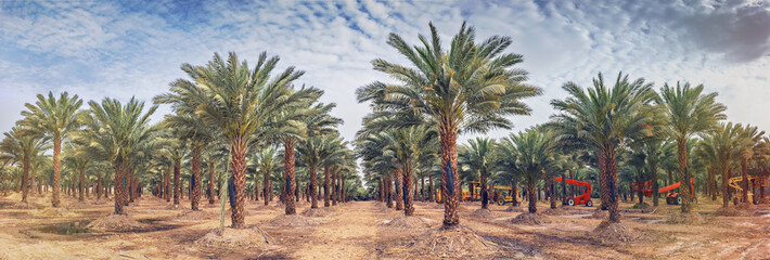 Panoramic image of plantation of date palms that have an important place in advanced desert agriculture in the Middle East. Concept of harvesting