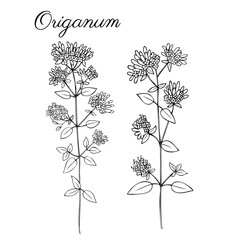 Blossoming oregano flowers vector ink doodle sketch hand drawn healing herb isolated on white, vintage botanical illustration, Collection herb for cards, cosmetic, medicine