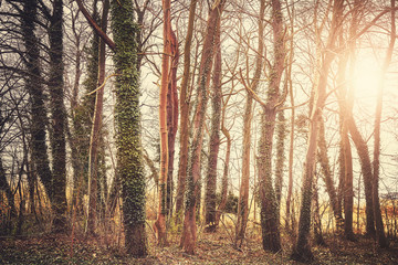 Mysterious trees at sunset, color toning applied, selective focus.
