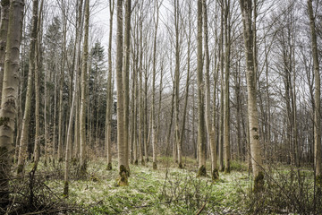 Barenaked trees in a forest in the spring