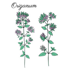 Blossoming oregano flowers vector ink doodle sketch hand drawn healing herb isolated on white, vintage botanical illustration, Collection herb for card, cosmetic