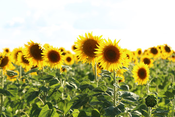 Sunflowers in the field, outdoors