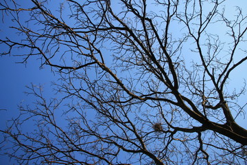Walnut tree without leaves with blue sky in background