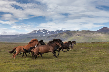 Group of beautiful icelandic horses of brown and black colors running fast with their manes blowing in the wind. Icelandic horses on a green summer meadow with mountains on the horizon.