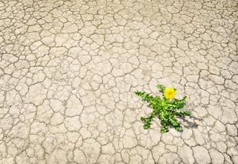 blühender Löwenzahn auf ausgetrocknetem Boden